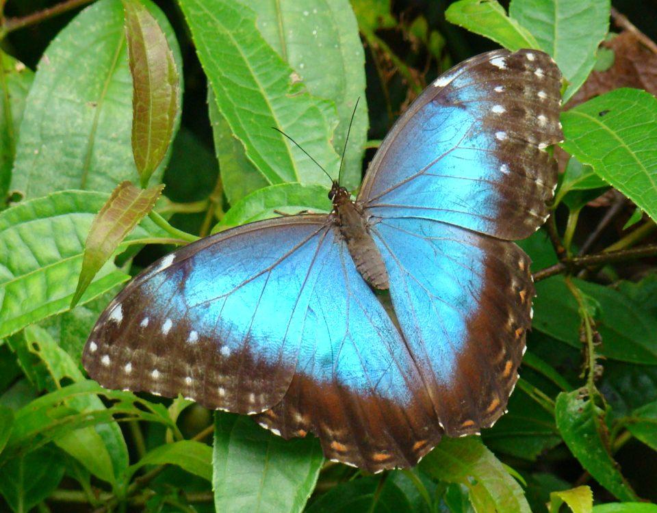 MvOct07 092 Morpho butterfly (Morpho peleides) Bajo del Tigre