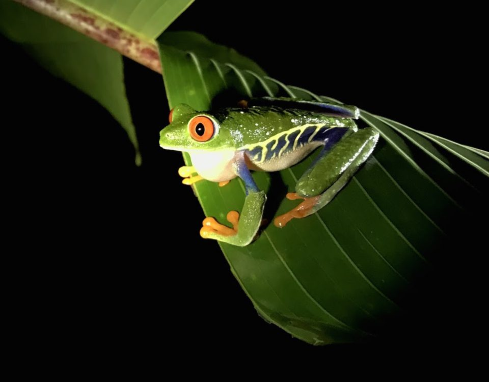Photo 4_ Red Eyed Tree Frog